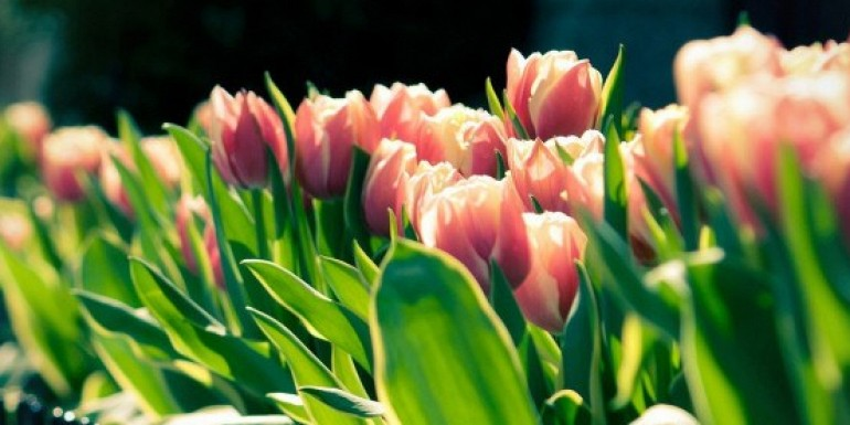 2015/tulips.jpg